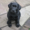 kirklington_stud_hester_as_a_10_week_old_pup_057