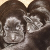 puppies_5_days_old_004-medium