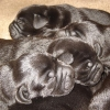 puppies_5_days_old_005-medium-medium