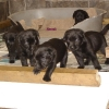 pups_at_4_weeks_001-medium1
