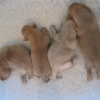4_bitch_puppies_at_5_days_old-medium
